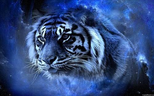 Синий тигр смотрит вдаль