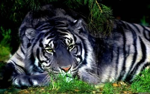 Лежащий в зарослях тигр